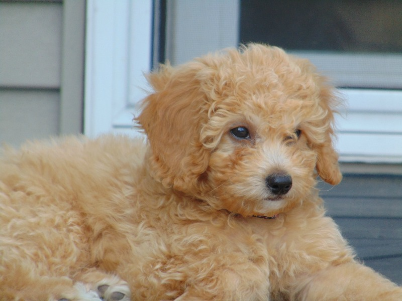 Try These F1 Mini Goldendoodle Puppies California {Mahindra Racing}